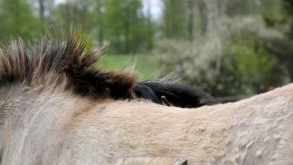 tarpan horses grooming eachother