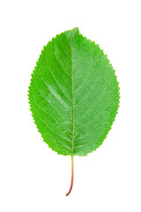 Colorful cherry leaf isolated on white background.