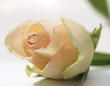 Helle Rose liegend