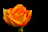 Orange yellow rose with room for content on black