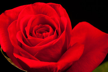Close up of beautiful red rose on black background
