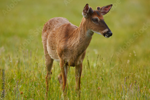 A deer in the meadow