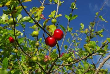 Acerola Fruits