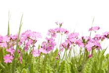 Polne kwiaty pierwiosnki i trawy na białym tle. Wiosna.