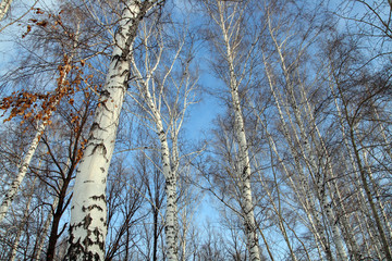 tops of bare birch trees
