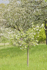 Blossoming Apple Trees