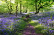 canvas print picture - Blue bells forest