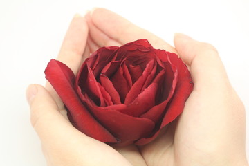 woman's hands holding a beautiful red flower rose