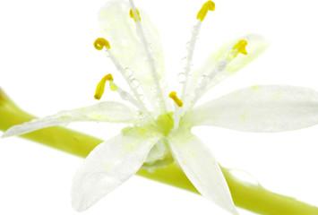 fleur de Phalangère, Chlorophytum comosum, fond blanc
