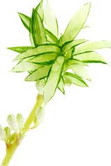 Plante araignée, Phalangère, Chlorophytum comosum,