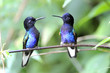 Постер, плакат: Velvet purple Coronet Hummingbird