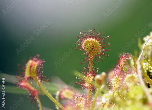 Sundew close up