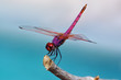 Brilliantly colored dragonfly perched on a twig