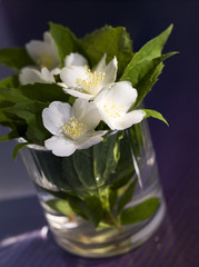Jasmin flowers in the glass over blue background