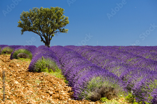 lavender field with a tree, Provence, France - 23148282