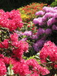 Rhododendron bunt