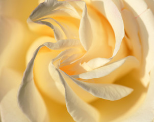 Yellow rose for a
