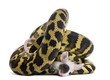 Morelia spilota variegata python, 1 year old, eating mouse