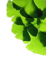 Fresh ginkgo biloba leaves