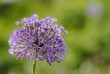canvas print picture - Allium giganteum