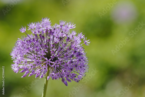 canvas print picture Allium giganteum