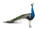 Fototapety Male Indian Peafowl in front of white background