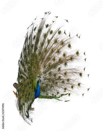 Papiers peints Paon Side view of Male Indian Peafowl displaying tail feathers