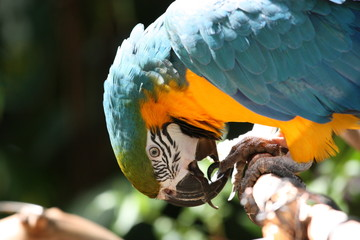 Blue and gold macaw biting its feet