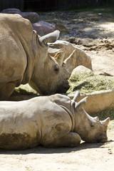 White rhino (Ceratotherium simum)