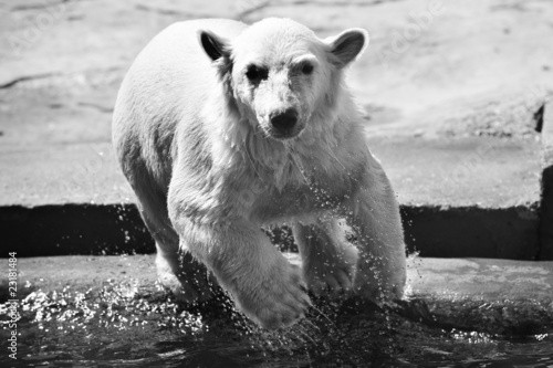 White polar bear jumps into the water