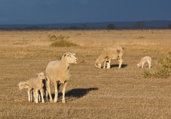 Female sheep with twin lambs