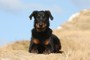 beauceron allongé de face à l'allure digne