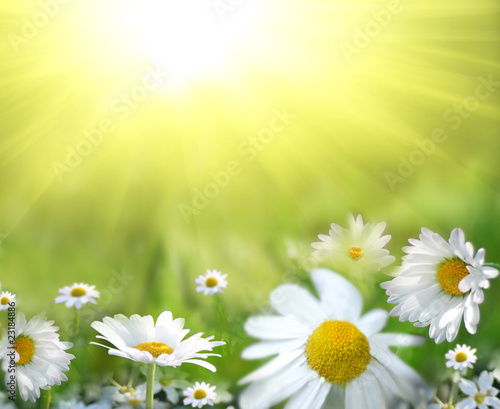 Daisy field against the sun