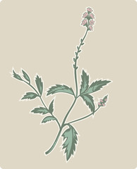 vervain or verbena plant with flowers