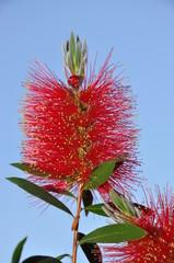 Fiore di Callistemon citrinus