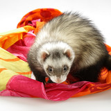 Ferret - home pet