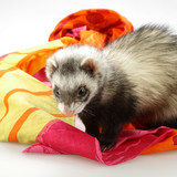 Ferret on scarf poster