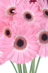 Pink Gerbera flower isolated on white