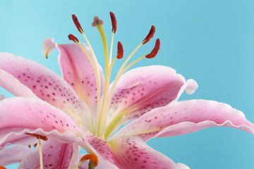 Pink lily flower over blue
