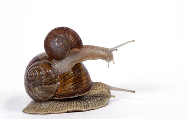 Edible snails on the white background