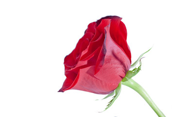 Close up of clean bright red rose on white background