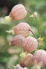 Silene vulgaris 3