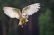 Fliegende Schleiereule