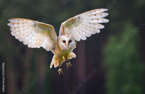 Staande foto Uil Fliegende Schleiereule