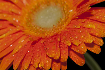 Drop of dew on the Petal