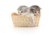 Isolated Kittens in Basket