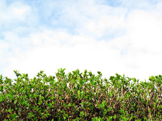 Privet Hedge and sky with clouds background