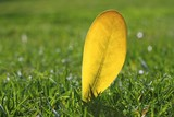 yellow autumn fall leaf on garden green grass lawn