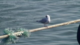 Gull on the rope in harbor