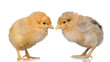 Two little yellow chicken